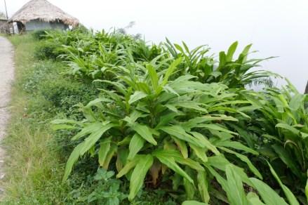 Kardamom-Pflanze auf Dorfstrasse kurz nach der Ernte.