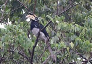 Nachmittags bekommt man Hornbills zu sehen.