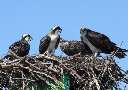 osprey, virginia, bird