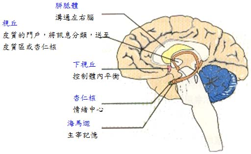 人類大腦構造和功能(必讀)   oneyearenglish