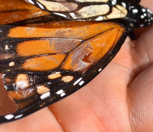 butterfly_0685