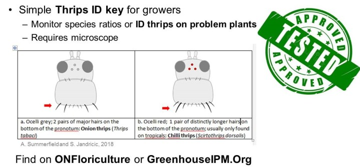 thrips key example