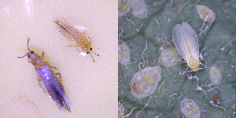 thrips and whitefly