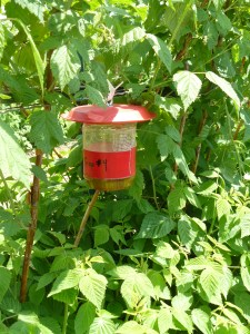 SWD trap with apple cider vinegar bait, hanging from a wild host adjacent to a berry field.
