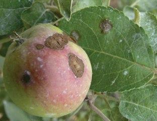 apples_apple-scab_06_zoom