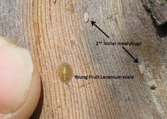 scale and mealybug