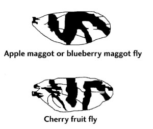 fruit fly wing patterns