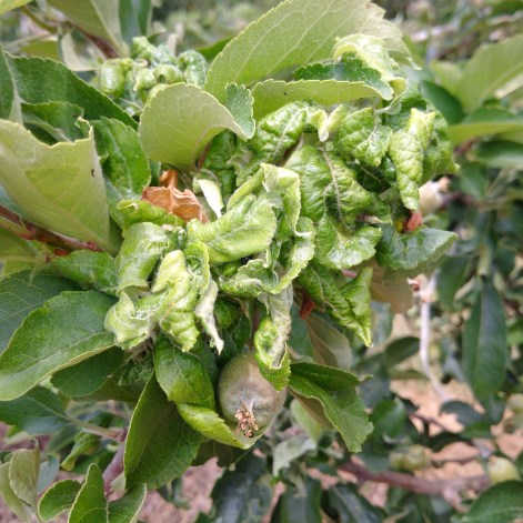 Figure 4. Feeding damage by rosy apple aphid causes leaves to crinkle and curl under.