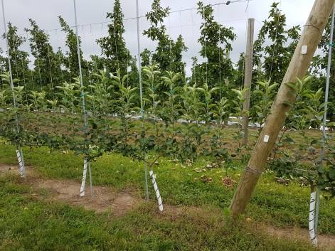 Figure 2: 'Honeycrisp' apples planted on G 935 trained to 8 leaders at Tom Rasch and Sons, LLC.