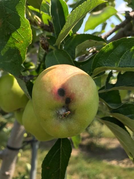 Figure 6b. Apple scab lesion on fruit.