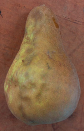 Figure 3a. External injury to pear. (stopBMSB.org damage gallery)