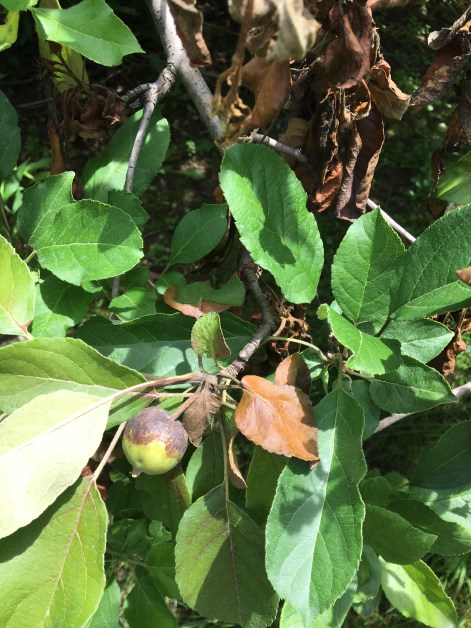 Infected shoot and developing fruit