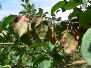 fb symptoms on leaves