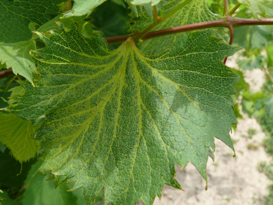 auxin injury grape Fig 2