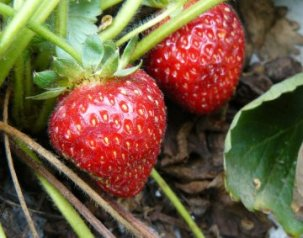 SWD damage on strawberries