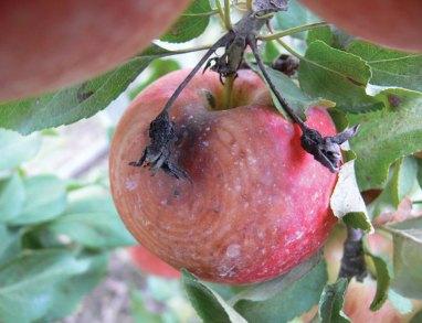 Black rot on apple