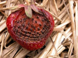Strawberry anthracnose