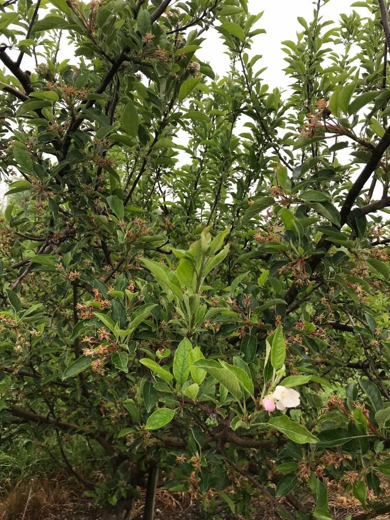 Secondary apple bloom following petal fall