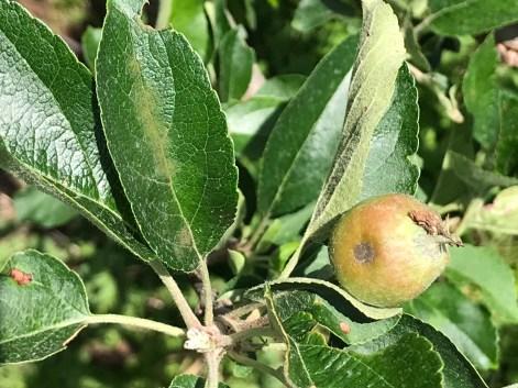 Apple scab on developing fruitlet and leaf