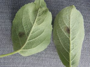 Apple scab lesions on underside of leaf