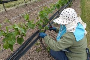 Shoot thinning a grape vine