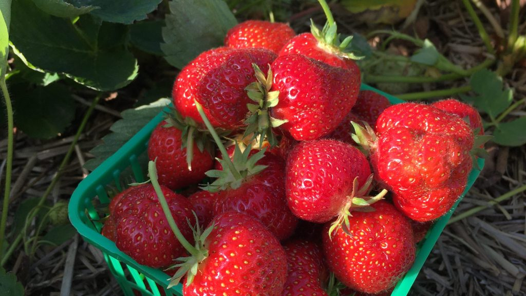 Strawberries are in a litre container in the field.