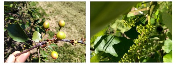 Two photographs of developing fruitlets. On the left, there is an image of a growing tart cherry cluster. There are five developing fruitlets on a branch that are green and orange in colour. On the right is a photograph of developing Sovereign Coronation grapes. The grapes are clustered together in a bunch, and are small and green in colour.