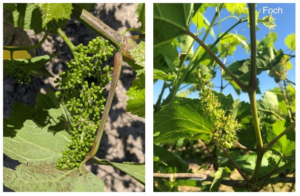 Two photographs of developing wine grapes. On the left is a photograph of chardonnay growing in Niagara on the Lake. The cluster of grapes is green and the fruitlets are small. On the right is an image of Foch grapes, which are also in a cluster and small and green. The cluster is starting to bloom with small yellow flowers.