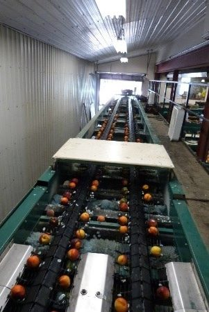 The image shows four rows of stone fruit travelling down a packing line conveyor belt.