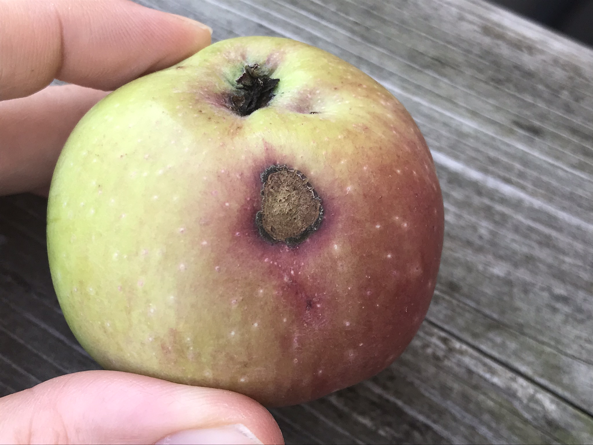 Apple scab lesion on fruit.