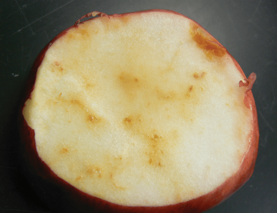 Internal breakdown and discoloration of fruit as a result of apple maggot larval feeding.
