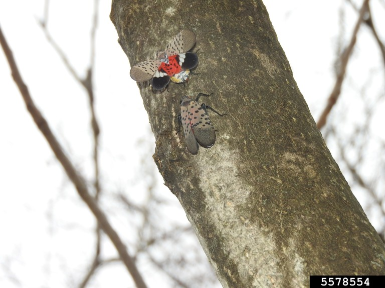 Two adults on a tree, one with wings extended out exposing red, black and white underwings.