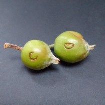 Figure 7. Fresh plum curculio oviposition damage appears as crescent-shaped marks with sap oozing from wound.