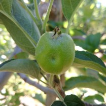 Figure 6. Tarnished plant bug damage appears as small, sunken dimple in developing fruit.