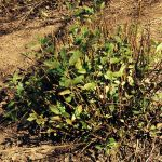 Salvia corrugata, hard-pruned