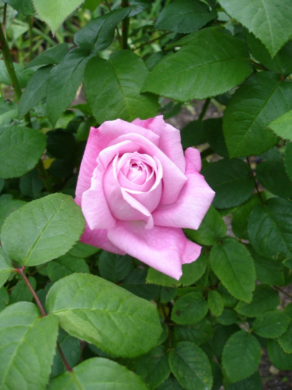 Photo of a Pink Rose Blossom