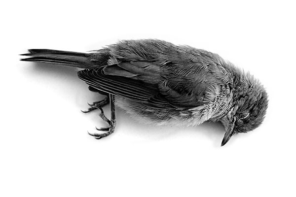 dyingbird