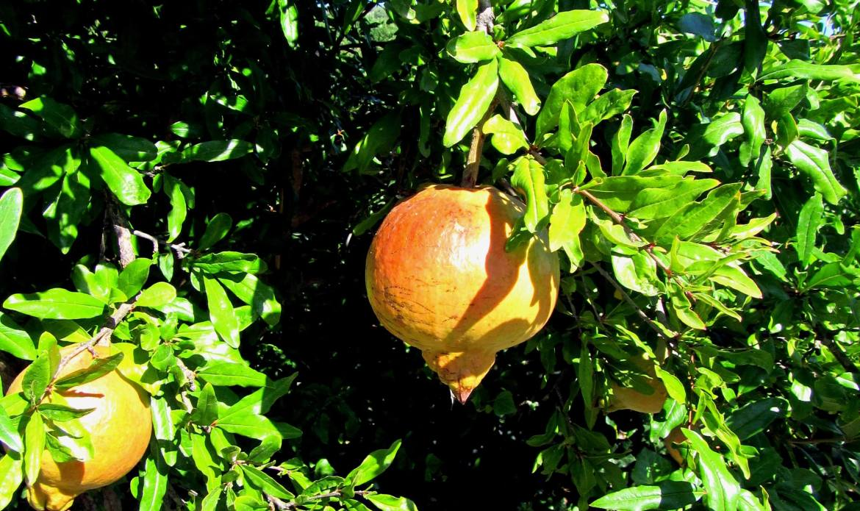 Les fruits bio de l'agritourisme en Sicile