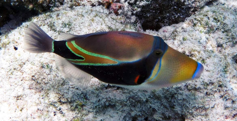 Poisson Balise typique du snorkeling aux maldives