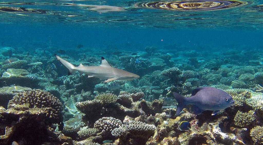 Requin à pointes noires pendant le snorkeling aux maldives