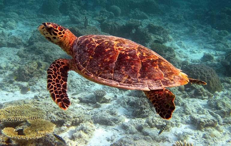 Une tortue pendant le snorkeling