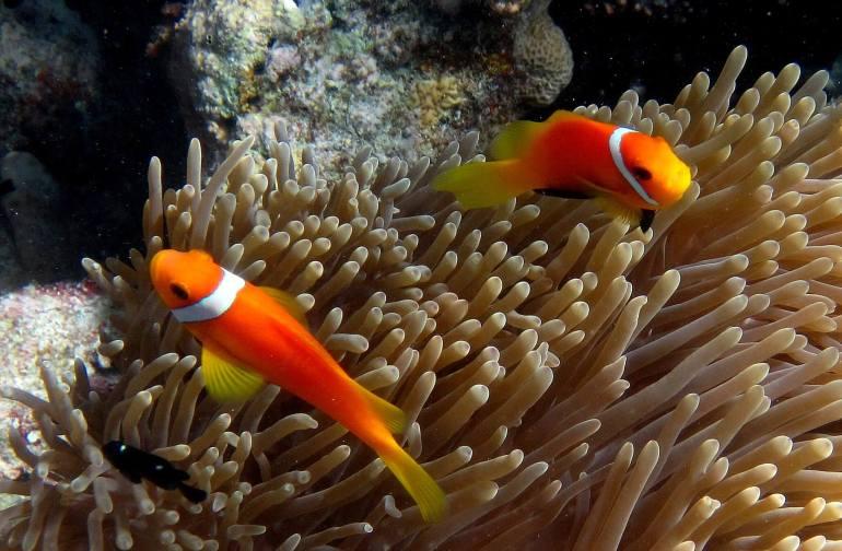 Poissons-clown snorkeling aux Maldives