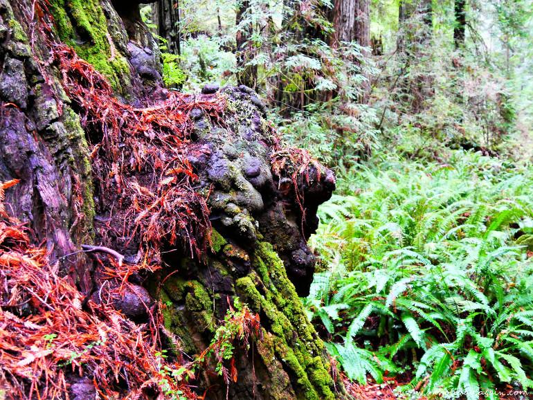 Torsion des arbres du Redwood National Park en Californie