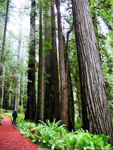 Séquoias géants du Redwood National Park en Californie