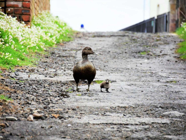 Canard et son petit sur l'Ile de May en Ecosse