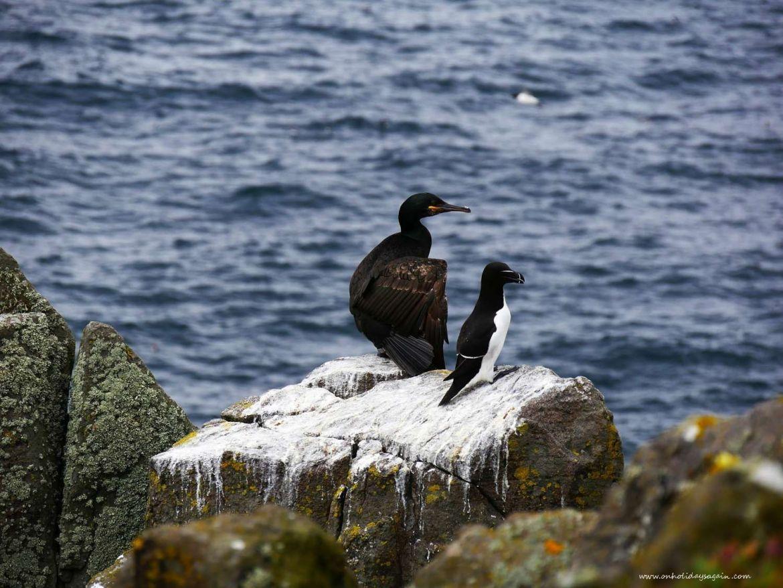 Cormoran huppé et pinguin torda sur l'Ile de May en Ecosse