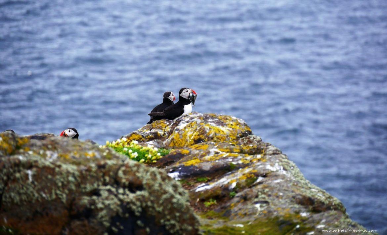 Macareux moine mangeant un poisson sur l'Ile de May en Mer du Nord