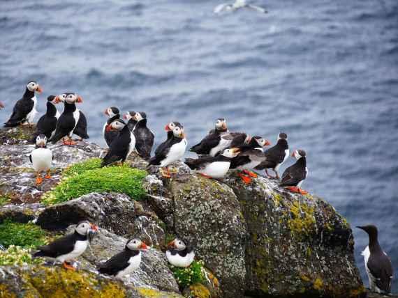 Colonie de macareux moines face à la Mer du Nord sur l'Ile de May en Ecosse