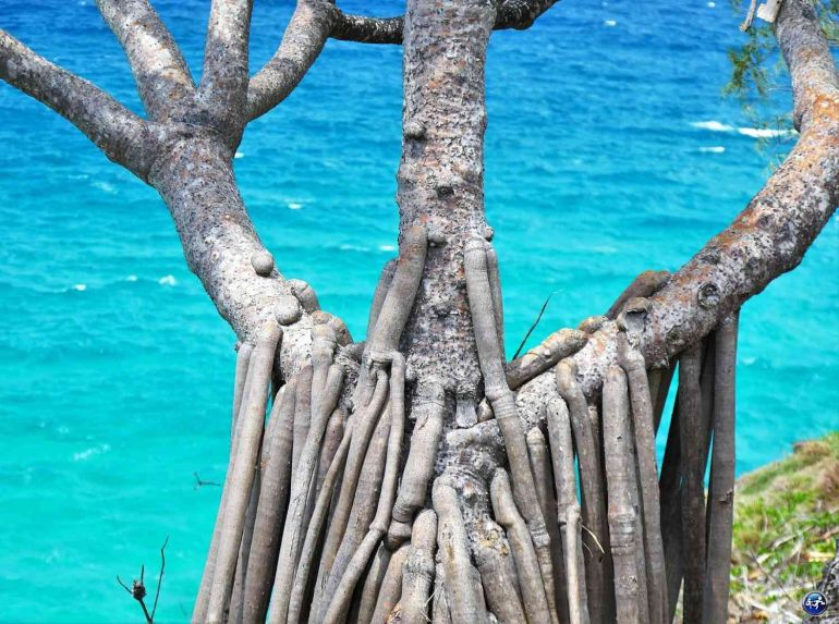 arbre noosa national park queensland australie blog voyage suisse cosy