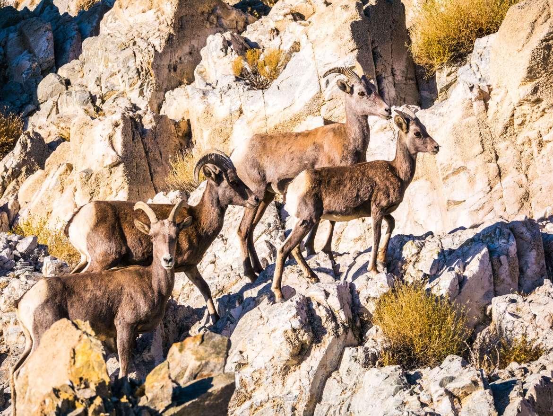 Mouflons au bord de la route dans le Nevada lors du road trip dans l'Ouest américain